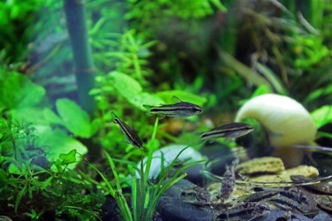 Коридорас пигмей в общем аквариуме.