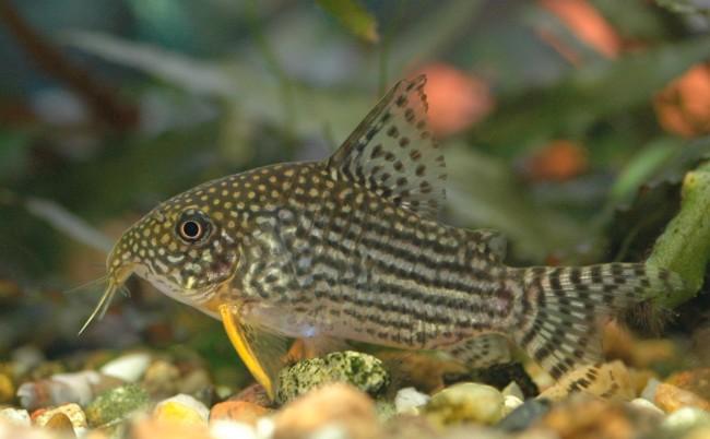 Рыбка коридорас штерба.