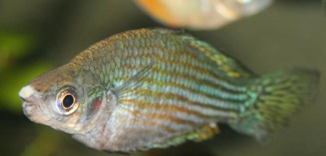 Лечение ваты у рыбок солью.