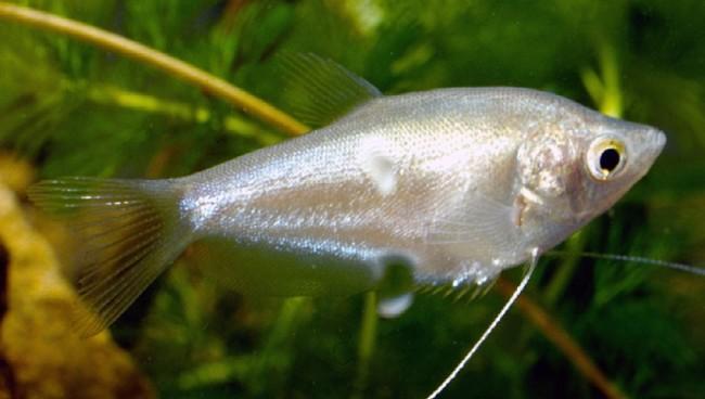 Аквариумная рыбка лунный гурами.