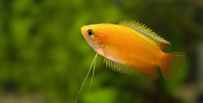 Рыбка медовый гурами нитеносец.