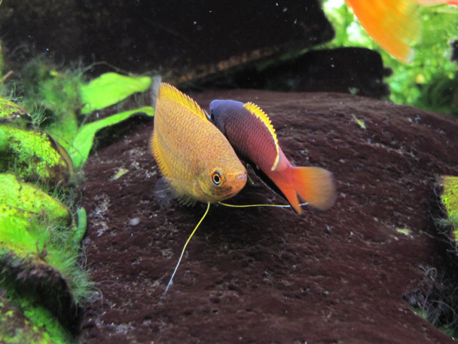 Медовый гурами с рыбкой.