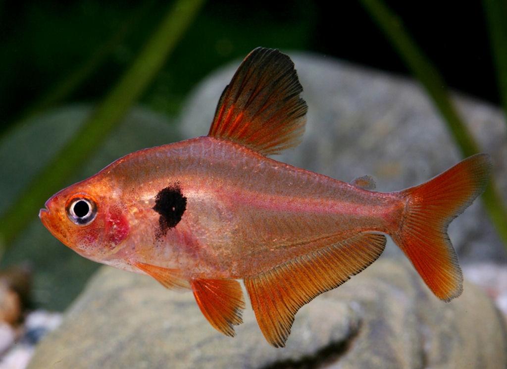 фото рыбки миноры