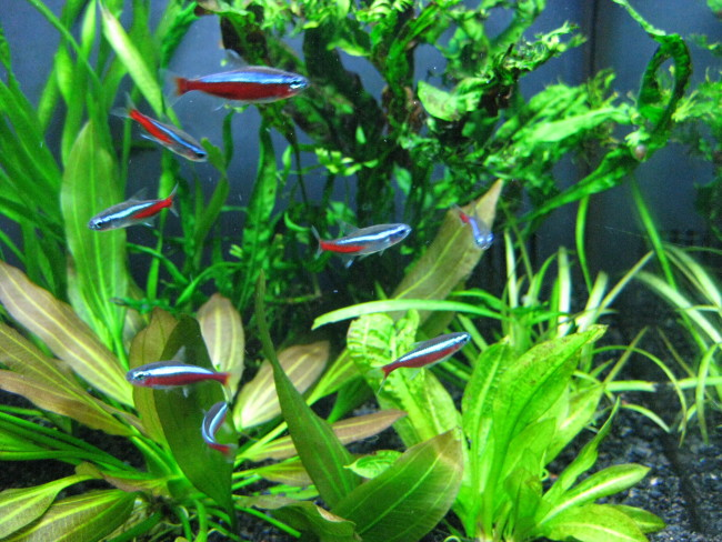 Стая рыбок неонов в аквариуме.