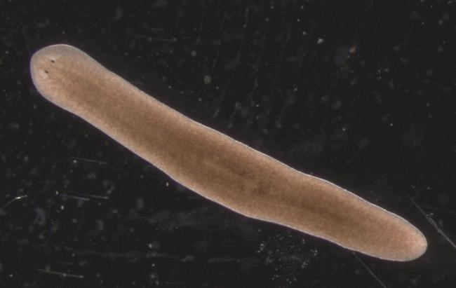 Плоские черви.