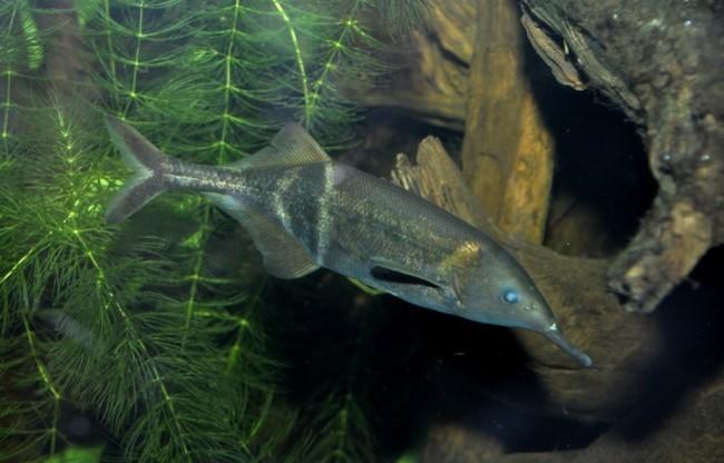 Рыба семейства Мормировые.