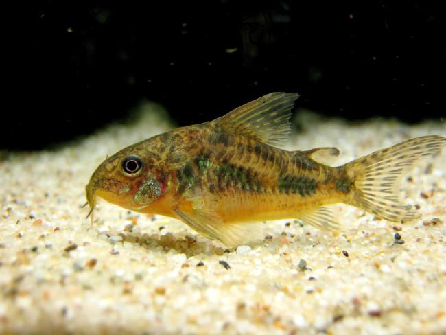 Что делать, если рыбка на дне аквариума?