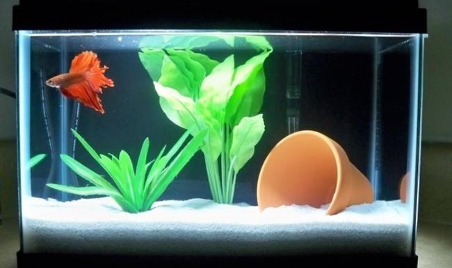 фото рыбок петушков в аквариуме