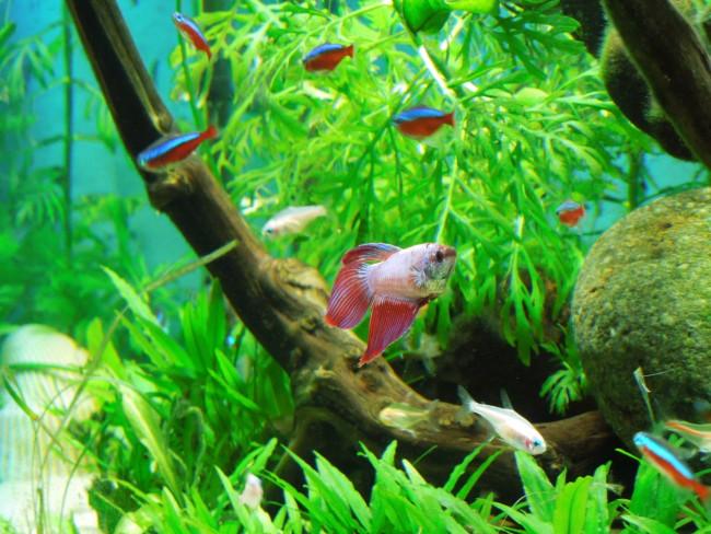 Рыбка петушок и тетры в одном аквариуме.