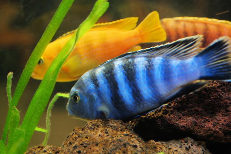 аквариумные рыбки фото и названия барбус