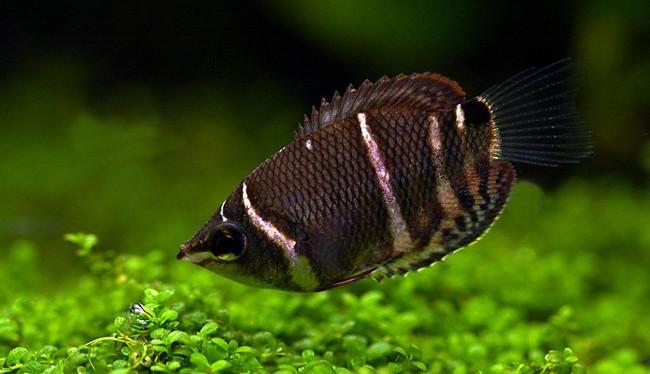 Рыбка гурами шоколадный.
