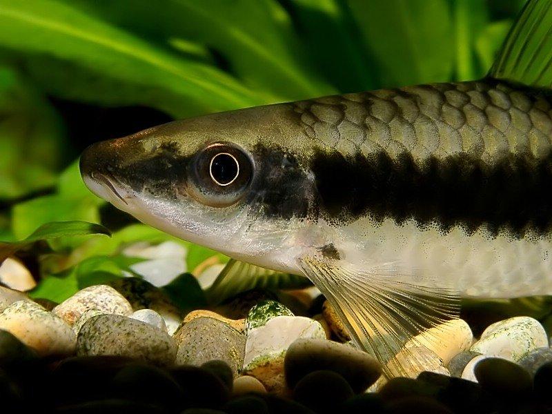 сиамский водорослеед рыба фото