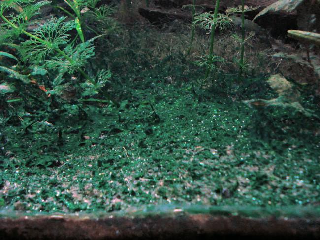 Сине-зеленые водоросли на гунте.