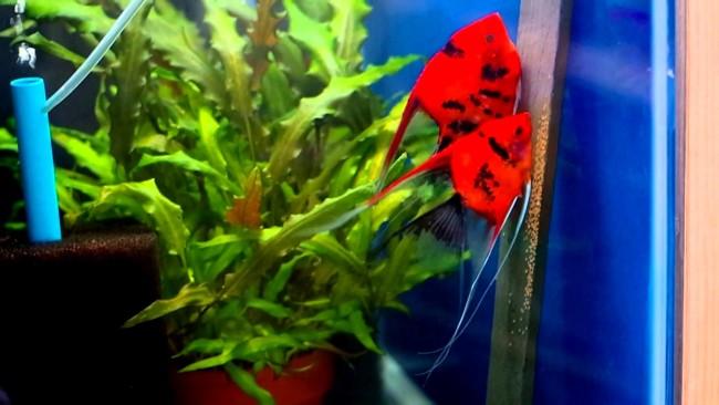 Красные скалярии откладывают икру.