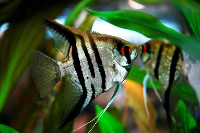 Самец и самка скарярии.