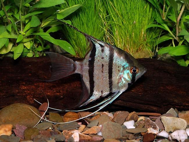 Рыбка скалярия леопольда.