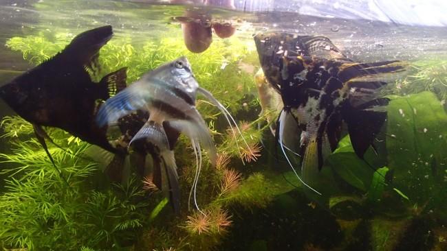 Кормление аквариумных скалярий.