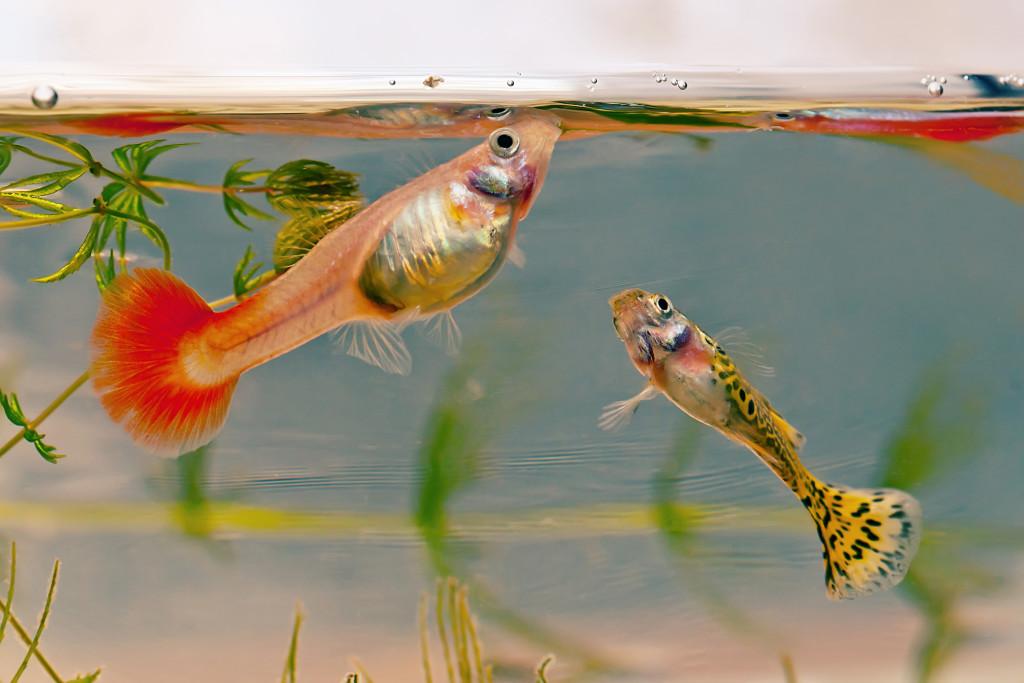 Гуппи рыбки кормление