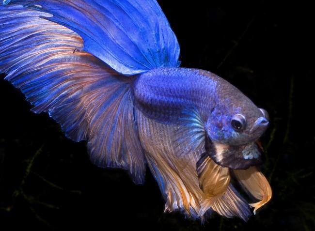Сине-золотой петушок в аквариуме.