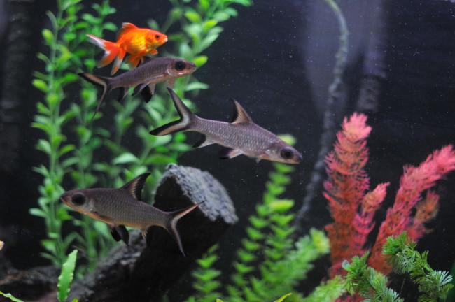Золотая рыбка в общем аквариуме.