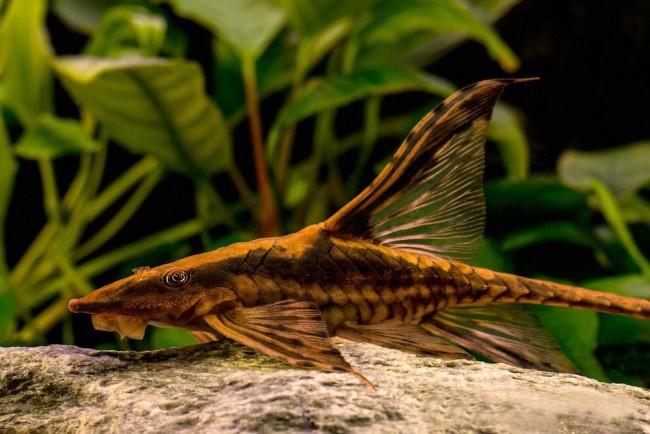 Рыбка семейства Кольчужные сомы.