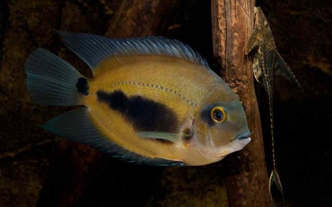 Рыбка уару чернопятнистый.