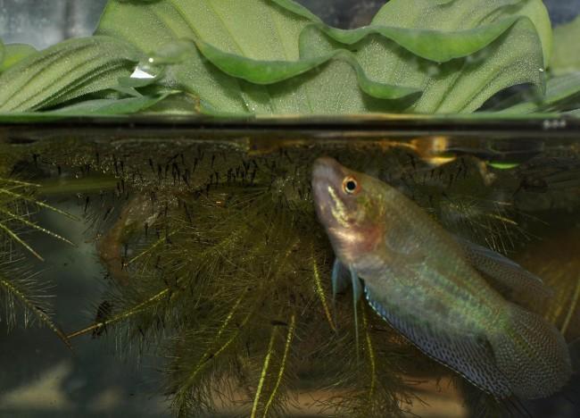 Ворчащий гурами в аквариуме.
