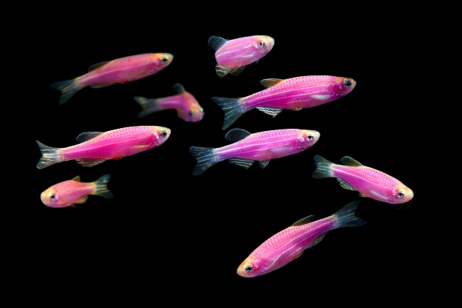 Стайка розовых данио в аквариуме.