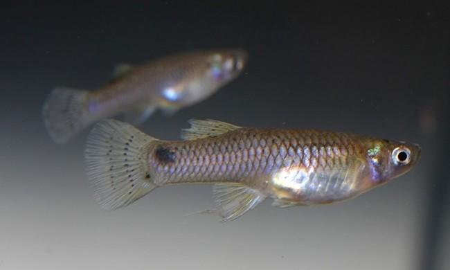 Mosquitofish gambusia affinis.