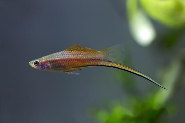 Рыбка меченосец.