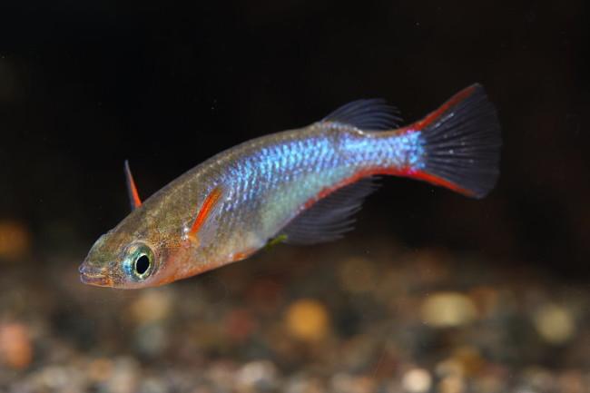 Рыбка оризиас вовора.