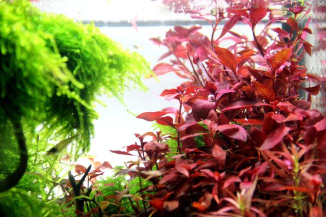 Растение альтернантера рейнека.