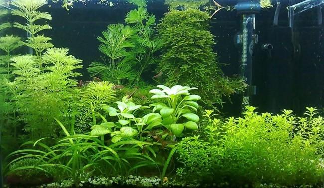 Растение амбулия водная.