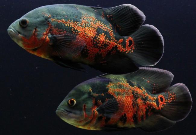 Рыбка астронотус глазчатый.