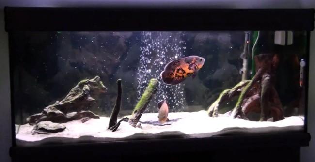 Астронотус глазчатый в аквариуме.
