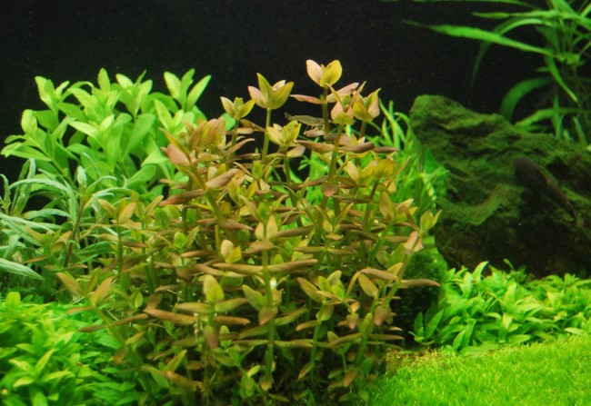 Бакопа каролинская в аквариуме.