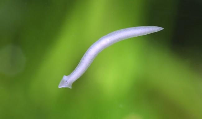 белые маленькие черви в кале у человека