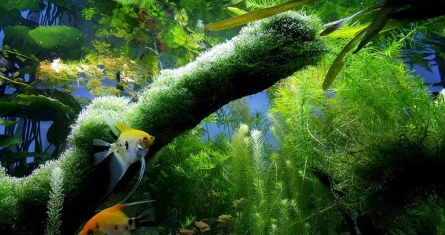 Элодея канадская в аквариуме с рыбками.