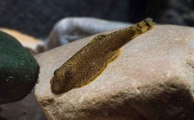 Гастромизон пунктулатус в аквариуме.