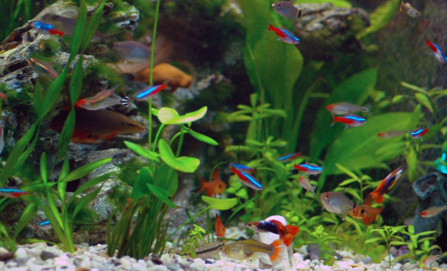 гуппи в общем аквариуме.
