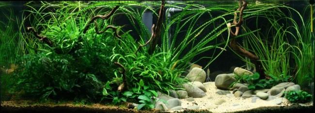 Кринум волнистый в аквариуме.