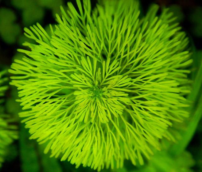 Лимнофила сидячецветковая крупным планом.
