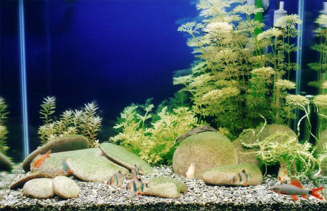 Амбулия в аквариуме.