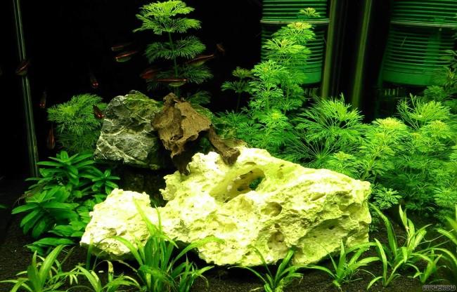 Амбулия в домашнем аквариуме.