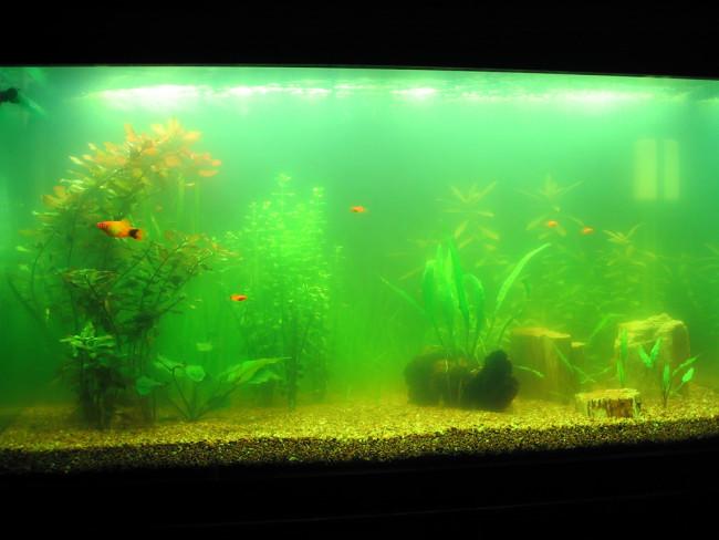 Цветение воды в аквариуме.