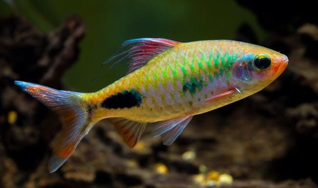 барбусы фото содержание рыбки