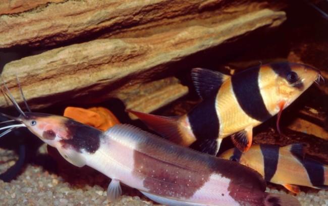 Ангольский клариас.