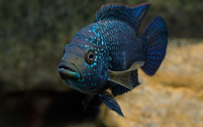 Восьмиполосая цихлазома в аквариуме.