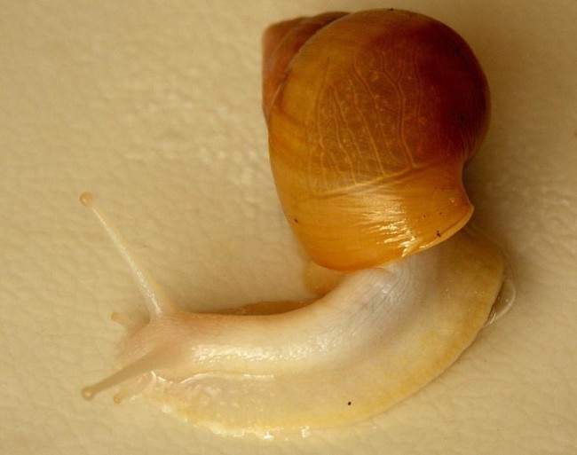 Ахатина хемели родация альбино боди.