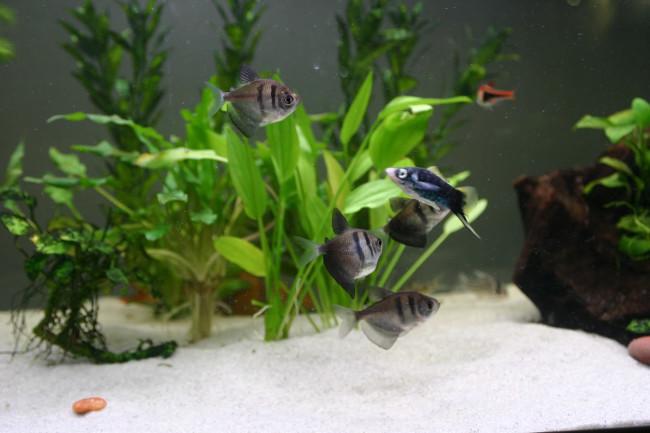 Черная тернеция вобщем аквариуме.